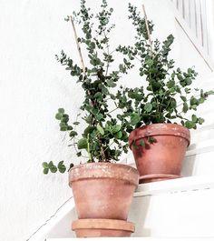 Inte fan kan jag stava till vad de heter, men de är jäkligt snygga, de gröna julvelerna jag släpade hem igår  eukalyptus, det kanske blev rätt  #flowers#plants#details#inredning#inredninginspiration#nordicinterior#stairs#decoration#dekorasyon#eucalyptus#eukalyptus#interiör#vitt#interior#nordichome#inspiration#pots#hallway#dekoration#lerkruka
