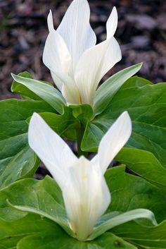 Trillium- Modest Beauty