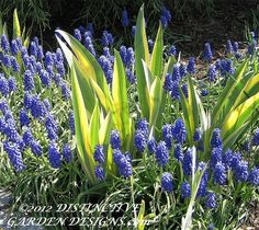 IRIS PALLIDA and MUSCARI -  via Distinctive Garden Designs . com where you will find powerpoint presentations of garden designs.