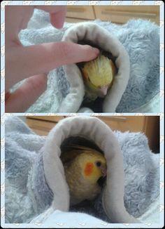 Cockatiel playing in blanket <3