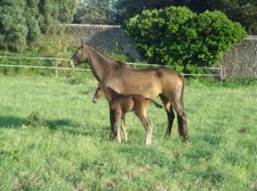 Bay Lusitano mare Tuna (why would you name her that?!) and her foal in Portugal