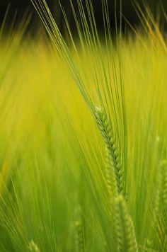 barley or wheat ^^;