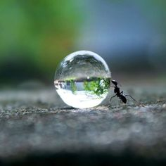Ant pushing a drop of water......