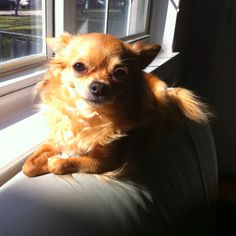 Long haired tea cup chihuahua! My love!