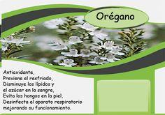 Oregano # orégano # پونه کوهی Barcelona, Fungi, Barcelona Spain