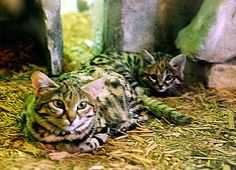 Un Chat à pieds noirs adulte et un chaton au zoo de Cleveland.