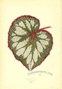 Begonia Rex, var. nebulosa.