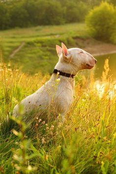 Uplifting So You Want A American Pit Bull Terrier Ideas. Fabulous So You Want A American Pit Bull Terrier Ideas. White Bull Terrier, Mini Bull Terriers, English Bull Terriers, Bull Terrier Dog, Terrier Breeds, Dog Breeds, I Love Dogs, Cute Dogs, Sweet Dogs