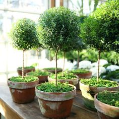 Topiary Friday Favorites - Myrtle Topiaries - Yes, I am aware that's it's only Thursday and this post is called Friday Favorites! However, I have a very special post coming this Friday so I'm sending Garden Shop, Dream Garden, Garden Pots, Herb Garden, Vegetable Garden, Container Plants, Container Gardening, Lemon Cypress, Pot Jardin