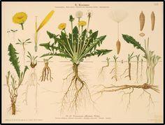 Taraxacum officinale - the dandelion [dandelion, Taraxacum officinalis, Asteraceae]