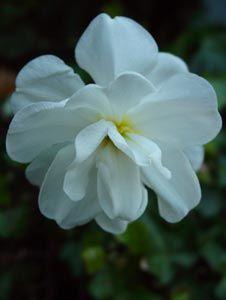 Narcissus 'Albus Plenus Odoratus' - Gefüllte Narzisse
