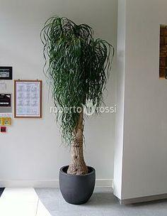 Anthracite ceramic pots Palm Tree Plant, Palm Trees, Office Plants, Ceramic Pots, Plant Growth, Pet Safe, Tropical Plants, Plant Hanger, Indoor Plants