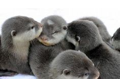 A bunch of baby otters snuggling. - Imgur