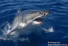 Don't think we will do this one but just in case ...Shark cage diving – Eyre Peninsula, South Australia