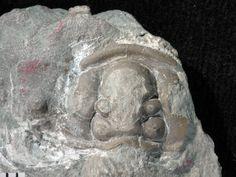 Fossiilid.info: Calymene soervensis