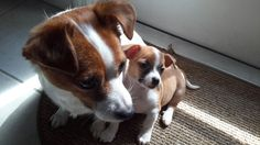 minnie the Jachi with her 8 wks puppy - Jack Russell Chihuahua mix