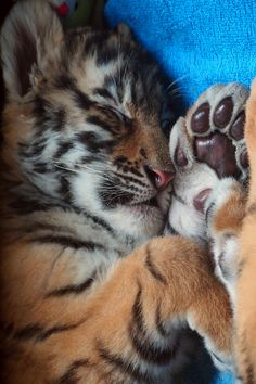 Little sleeping tiger cub. Big Cats, Crazy Cats, Cats And Kittens, Cute Cats, Siamese Cats, Cute Tiger Cubs, Cute Tigers, Tiger Tiger, Bengal Tiger