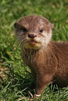 Otters, always sticking out their tongues.