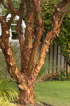 Monrovia's Paperbark Maple details and information. Learn more about Monrovia plants and best practices for best possible plant performance.