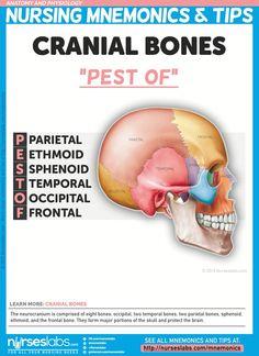 Cranial bones