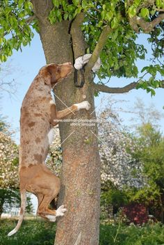 Catahoula climbing dog - We are NOT training Zeke to climb! Catahoula Cur, Cat Climbing Tree, Hog Dog, Tallest Dog, Leopard Dog, Hunting Dogs, Family Dogs, Dogs And Puppies, Doggies