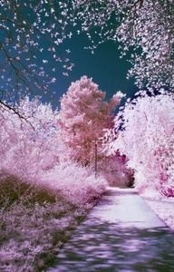 Cherry Blossom Trees...This reminds me of the cherry blossom tree in my daughter's garden and seeing blossom flakes floating through the air as the wind blew....awesome. Instead of snow flakes swirling in the air, there were blossom flakes...magical experience.