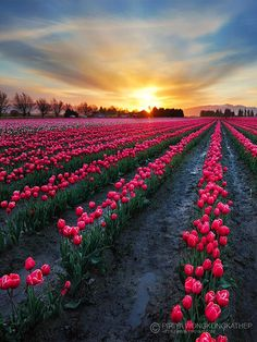 Skagit Valley Tulip Festival, Mount Vernon Washington | Polo Pixel