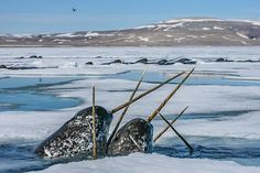 by natgeo: Photograph by @paulnicklen // It is a very bright day for the Arctic as President Obama has just blocked 115 million acres of the Chukchi and Beaufort Seas from oil and gas exploration indefinitely. More over, Prime Minister Trudeau has announced that it will freeze oil and gas offshore leasing in Canadian Arctic waters. These narwhals (unicorns of the sea) are incredibly sensitive to any noise disturbance. Oil and gas exploration would displace narwhals, bowhead whales, walrus,