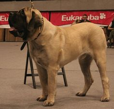 ENGLISH MASTIFF  Now thats a whole lotta dog