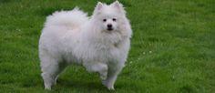 De exacte oorsprong van dit ras is onbekend, maar het wordt algemeen aangenomen deze rashond is ontstaan in de Verenigde Staten doordat in de 20e eeuw Duitse immigranten deze hond meenamen. Het is familie van Spitz hond en de Amerikaanse Eskimo Dog (ook wel American Eskimo Dog) is er in drie verschillende soorten: normaal, middelslag en dwerg. In de jaren 1930 en 1940 waren ze enorm populair als circusartiest.