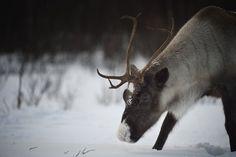 Reindeer in the Snow, Norway - stock photo