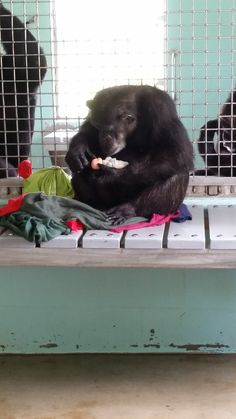 Chimp Kept In Cage For 17 Years Loves Doll Like Her Own Child
