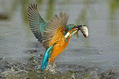 Eisvogel mit Fisch © Michael Tiefenbach