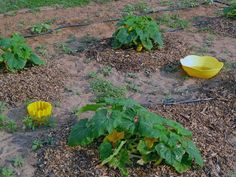 "Squash vine borers - ""we put yellow bowls with water in them, around the squash plants, because the borers go for the color apparently and drown themselves."" I'll have to collect some yellow bowls from thrift stores for next year."