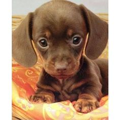 So cute Dogs ❤ liked on Polyvore featuring animals, dogs, pets, pictures, puppies and backgrounds