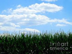 Summer Breeze - photograph by Robyn King fineartamerica.com #cornfield #summertime #pastoralscene