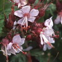 Geranium macrorrhizum album seeds