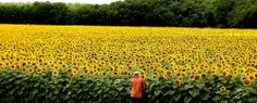 A man looks over thousands of sunflowers that decorate a field off of Interstate 35 near mile marker 391 between Italy, Texas and Waxahachie, Texas. Photo by the Waco Trib's Rod Aydelotte