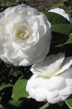 Love Flowers, White Flowers, Beautiful Flowers, Blossom Flower, My Flower, Camellia Plant, Organic Weed Control, Garden Online, Large Plants