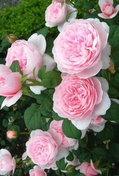 cool 'Queen of Sweden' | Shrub. English Rose Collection. David C. H. Austin, 20...