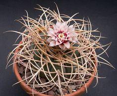 Gymnocalycium cardenasianum