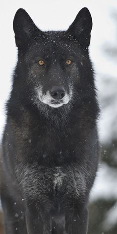 Alpha Shadow- Leader of The Pack. Protecter. Incharge of all the pack. May be challenged by other adult males in pack. Fierce. Strong. Loyal. Looks like my Piper