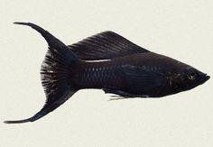 My Black Lyretail Molly fish. Love!