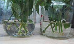 Trei metode simple de înrădăcinare a trandafirilor din buchetul primit cadou! - Pentru Ea Salvia, Indoor Plants, House Plants, Roots, Aloe Vera, Glass Vase, Home Decor, Gardening, Club