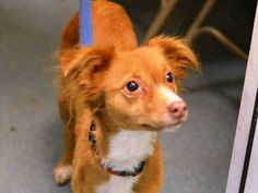 Brooklyn Center  CHANEL - A1023314  FEMALE, TAN / WHITE, PAPILLON MIX, 1 yr STRAY - STRAY WAIT, NO HOLD Reason STRAY  Intake condition UNSPECIFIE Intake Date 12/16/2014, From NY 11213, DueOut Date 12/19/2014,  https://www.facebook.com/Urgentdeathrowdogs/photos/pb.152876678058553.-2207520000.1418940040./923739620972251/?type=3&theater