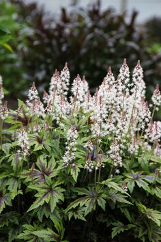 (Tiarella 'Spring Symphony') Sweet-smelling, 10-inch-high pink cones top leaves with burgundy stripes that intensify come autumn. Zones 4-9; full shade; blooms late spring/early summer