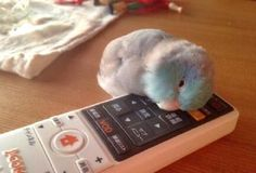 little parrot playing itself