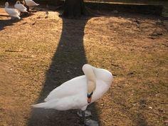 "Reminds me of Ceaikowski's ""Swan Lake""..."