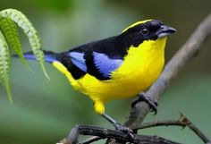 Exotic birds : blue winged mountain tanager