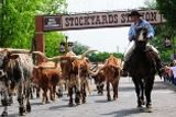 Western Experience: the twice daily longhorn cattle drive through the Fort Worth Stockyards